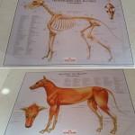 Infotafeln: Mit Hilfe von Bildern von Muskulatur und Skelett der Tiere lassen sich physiotherapeutische Maßnahmen anschaulich erläutern.